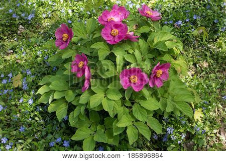 Flowering Bush Of Paeonia Daurica And Vinca Minor Covering The Ground