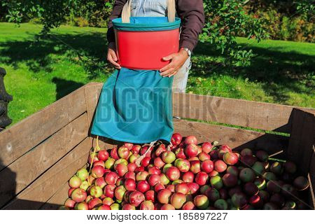 Harvest in a commercial apple orchard with picking baskets. In the process of emptying the picking basket into the bin,.