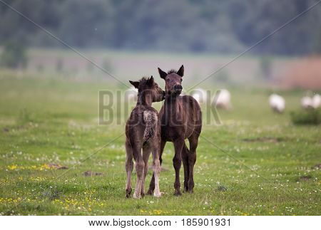 Two foals playing on fresh spring grass with flowers on meadow