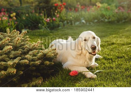 Portrait of a beautiful Golden Retriever dog with a pedigree. The dog purebred is surrounded by greenery. Concept beauty, softness, pedigree.