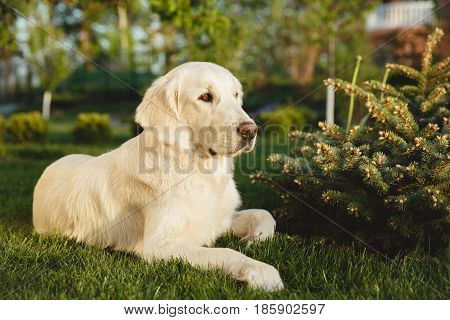 Portrait of a beautiful Golden Retriever dog with a pedigree. The dog purebred is surrounded by greenery. Concept beauty, softness, pedigree. poster