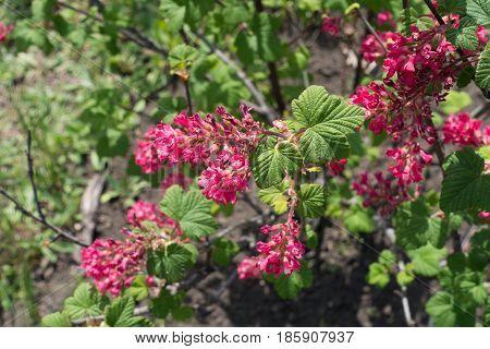 Close up of crimson flowers of Ribes sanguineum