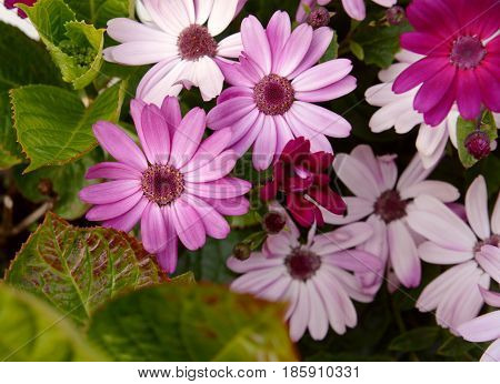 African Daisies In Different Shades Of Pink
