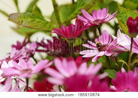Small Honeybee Pollinating Pink African Daisies