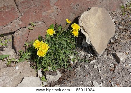 Incredible Survivability Of Common Dandelions (taraxacum Officinale)
