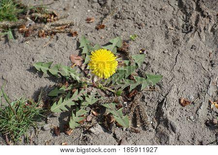 Single Yellow Flower Of Dandelion In The Dirt