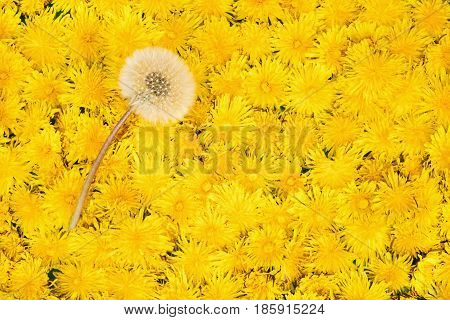 One ripe white dandelion on a carpet of flowers of yellow dandelions