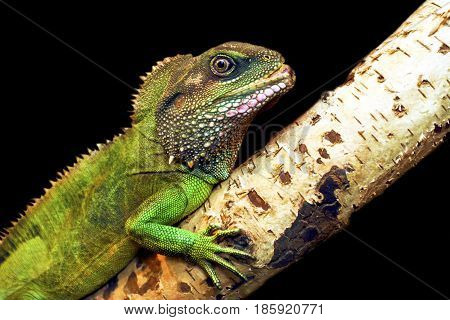 Large green iguana on the tree closeup on a black background.
