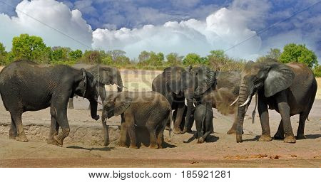 Herd of elephants dusting themselves with dried mud to protect themselves from the harsh african sun.  Hwange national park Zimbabwe