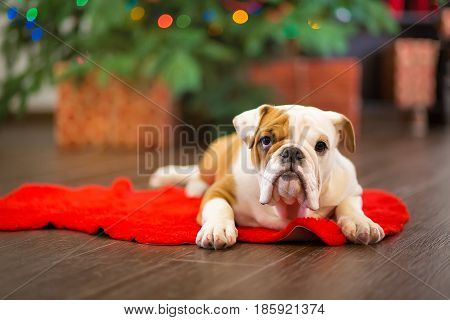 Cute puppy english bulldog with deer head cornuted on red carpet close to Christmas tree with xmas toys