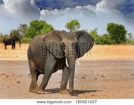 African Elephant standing on the dry plains in Hwange National Park, with a cloudscape sky