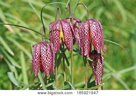close up of fritillary flowers in spring