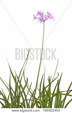 Many leaves and a single stem with an umbel of purple flowers of society garlic or pink agapanthus (Tulbaghia violacea) isolated against a white background