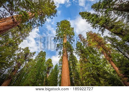 Wide Angle View Of Famous Giant Sequoia Trees In Sequoia National Park, California, Usa