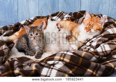 Ginger cat breastfeeding her little kittens. Motherhood, parenting, care. Nursing at plaid blanket and blue rustic wood background. poster