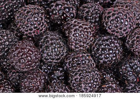 Numerous ripe dark purple fruit of black raspberries (Rubus occidentalis) fill the frame