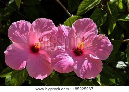 Vibrant pink tropical Hibiscus flowers in a garden Florida, USA