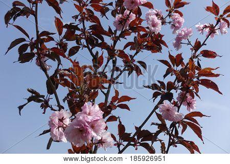 Prunus Serrulata Kwanzan In Full Bloom Against The Sky