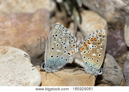 Couple Of Common Blue Butterflies Copulating In Spring.