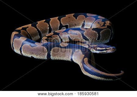 Python regius on a black background it is also known as Royal python or Ball python