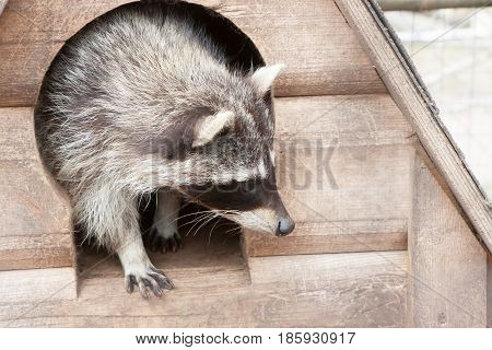 Portrait Of The Beautiful Raccoon Who Is Getting Out Of A Wooden Lodge