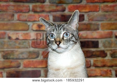 Portrait of a tan cream and black tabby cat perplexed expression looking slightly to viewers left. Brick wall background.
