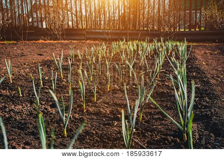 Feathers green onion and garlic are growing in the garden in springtime on sunny day with wooden fence behind shoot on tilt-shift lens
