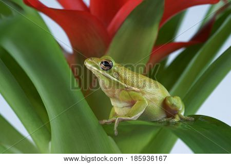 Tree frog (Litoria infrafrenata) , on Bromelia