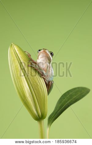 Tree frog (Litoria infrafrenata) on a green background