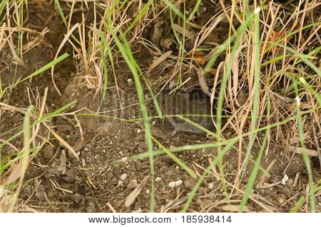photo of a common vole (Microtus arvalis) in its natural habitat