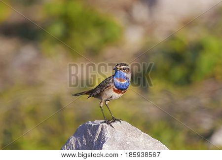 portrait bright birds Bluethroat is on the stone