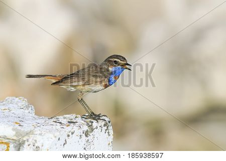 funny bird with bright blue feathers stands on a stone and sings in the spring