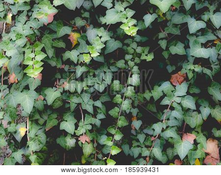 Ivy Picture