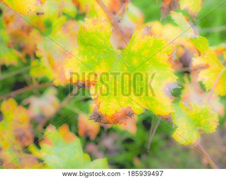 Vitis Plant Leaf
