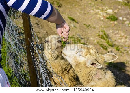 Feeding a sheep from his hand. Domesticated sheep on pasture at the sunset. Happy sheep in the paddock. Sheep ready for shearing wool.