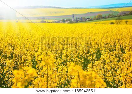 Rape field flowering rape in front of village