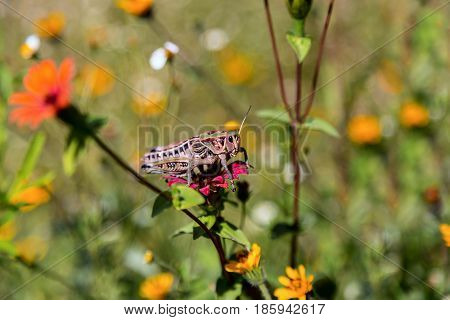 Bright green grasshoppers are found in the grasslands of central Mexico. Here the grasshopper is pictured in a background of wild flowers.