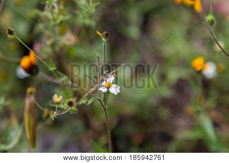 Preying mantis perched on a wild daisy in central Mexico.