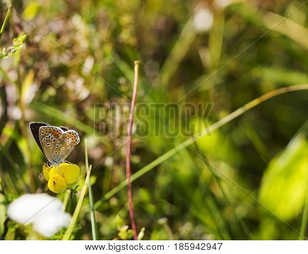 Butterfly brown color with orange spots Aricia agestis sits on small yellow flower Medicago falcata on summer meadow. Macro life, side view