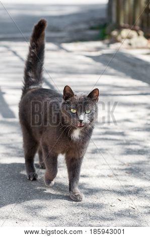 beautiful grey cat walking on the road