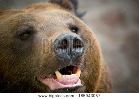 Bear brown, Grizzly. The pasture is opened, fangs are visible.