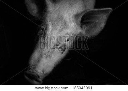 The head of a piglet. The muzzle is smeared with mud.
