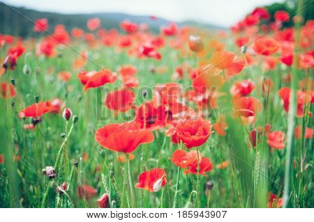 Mountains and poppy field, selective focus. Field of blossoming poppies. Close up of moving poppies. Field in Farmland, Countryside, Rural, Rustic Summer Landscape, Background.
