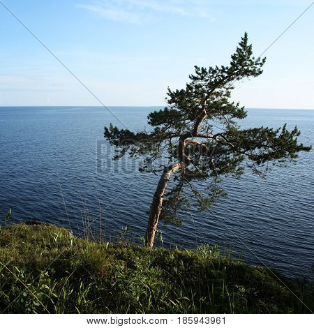 Pine tree inclined by the wind. Toned photo. Lone tree stands near the shore of the Ladoga lake. Island of Valaam Republic of Karelia Russia.