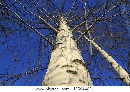 view from below on the winding branches of the crown of the tree birch without leaves on a background of blue sky