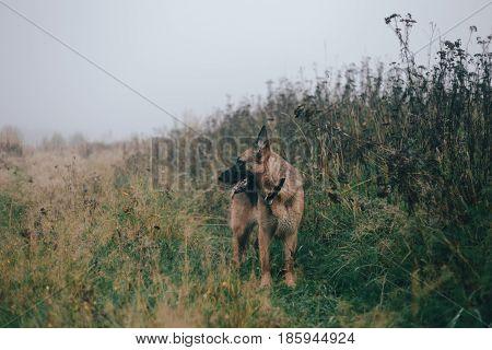 German shepherd dog walking in the field