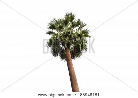 Fan Palm Tree On The White