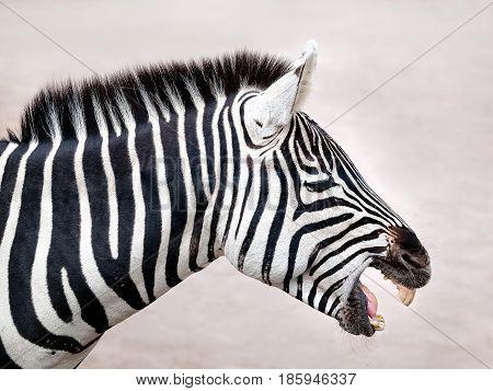 A profile zebra produces a sharp nitrite.