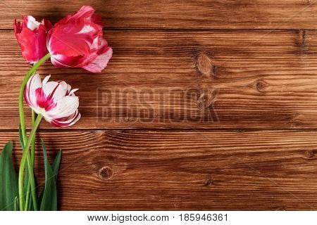 Tulips spring flowers on wooden brown background with text space