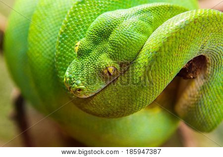 Close-up view of a green tree python Morelia viridis